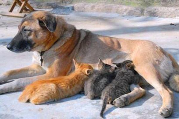 Une chienne allaitant des chatons. (Photo de Faceb