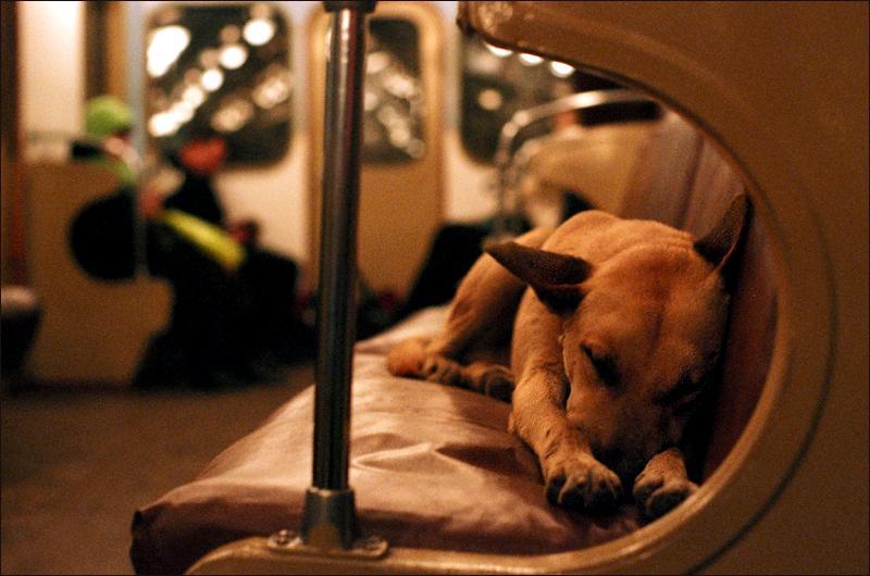 Les chiens errants de Moscou et le métro - #adg